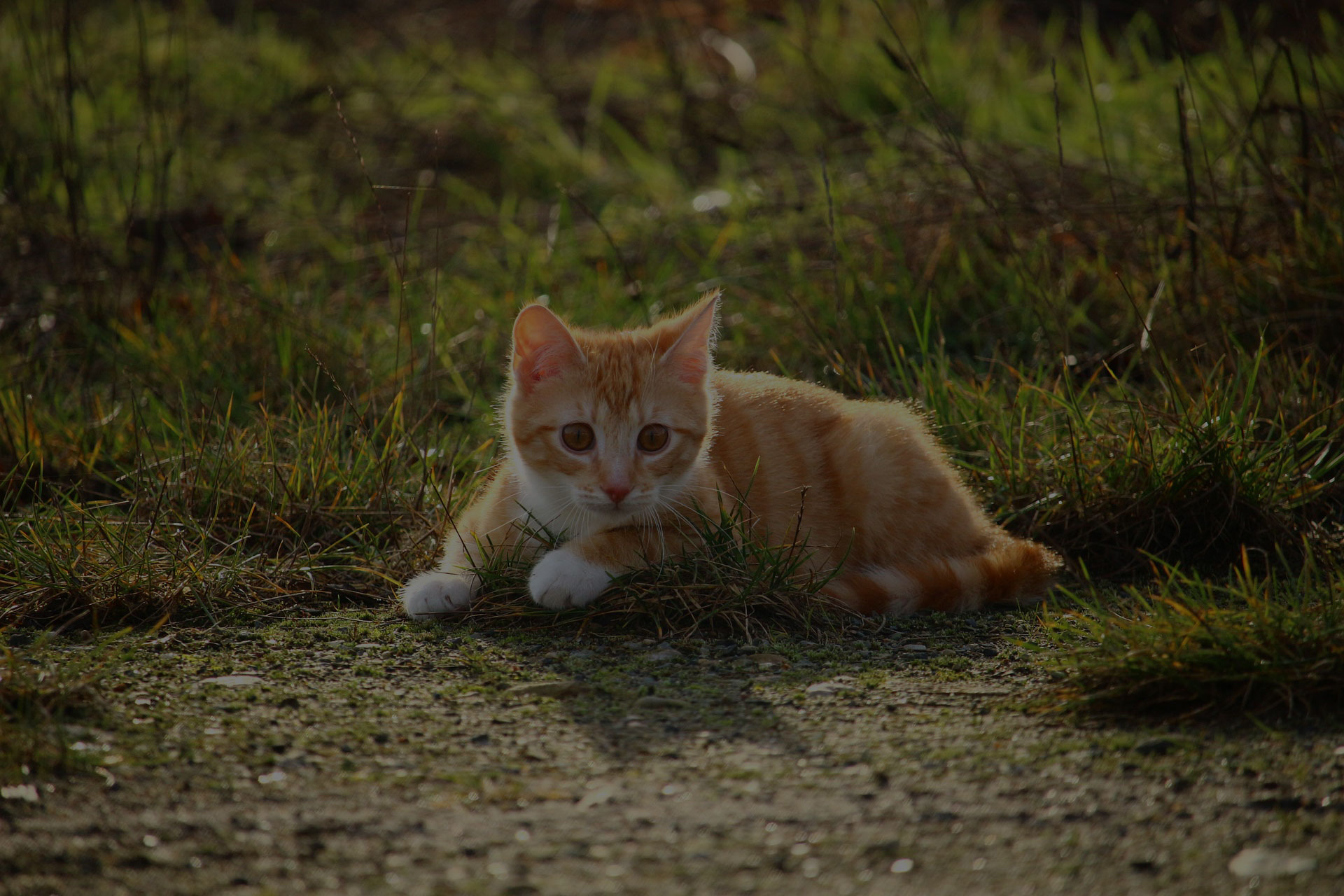 photograph of orange tabby kitten on grass