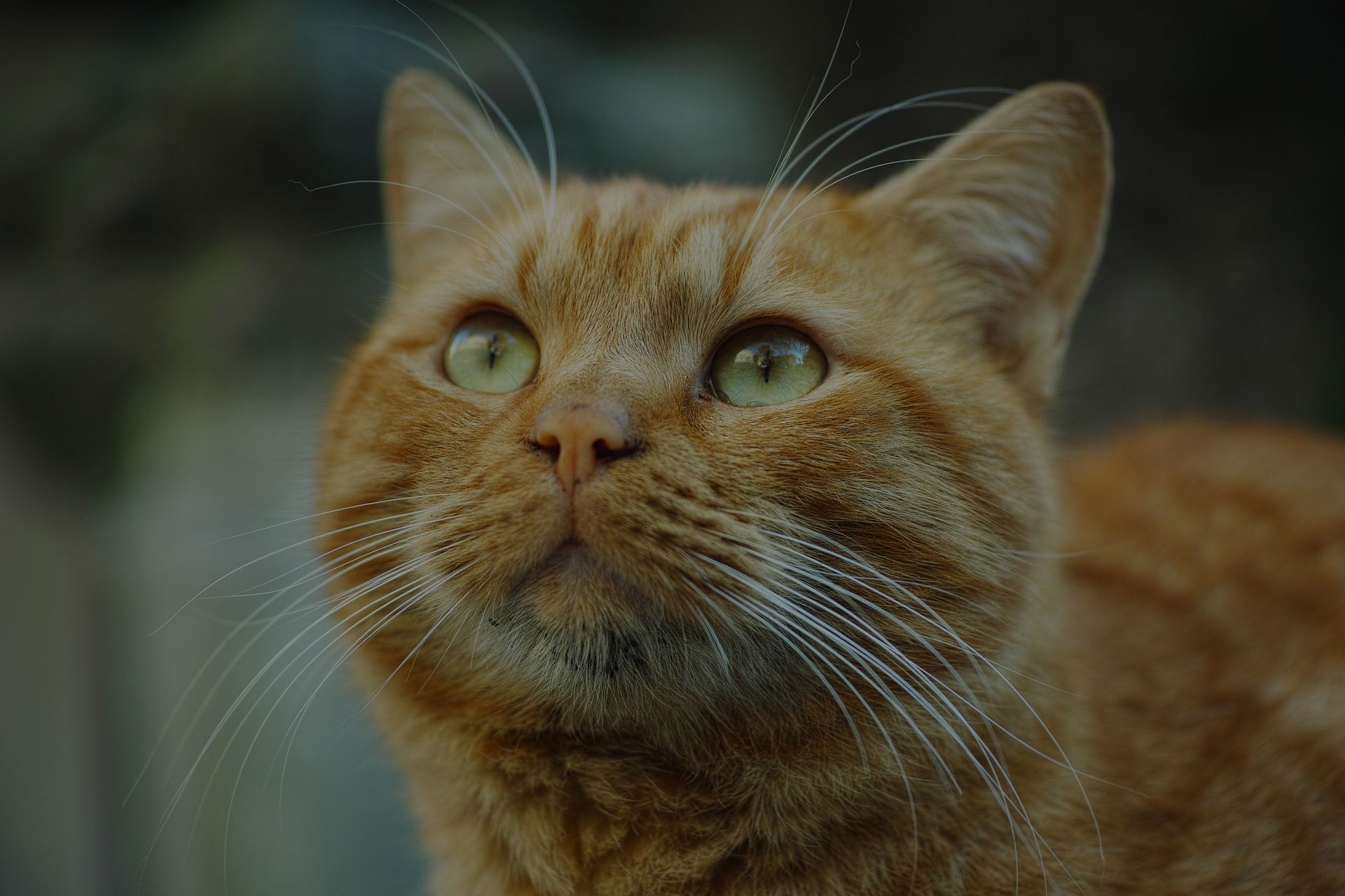 portrait of orange tabby cat looking up